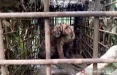 Masih Ada 2 Harimau Sumatera Berkeliaran - JPNN.com