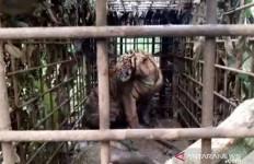 Harimau Sumatera yang Teror Warga Solok Akhirnya Ditangkap, nih Fotonya - JPNN.com