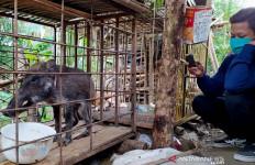 Babi Hutan Berkaki Seperti Ceker Ayam Ini Ternyata Doyan Ngopi dan Makan Nasi - JPNN.com