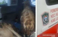 Ambulans Angkut 2 Kambing, Wabup Lumajang Langsung Meradang - JPNN.com