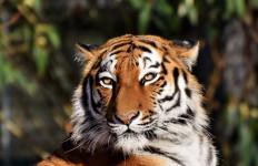 Diterkam Harimau Siberia, Petugas Kebun Binatang Tewas di Tempat - JPNN.com
