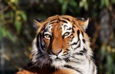 Petugas Kebun Binatang Tewas Diterkam Harimau, Ngeri - JPNN.com