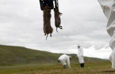 Makan Daging Marmot, Pemuda Mongolia Tewas Kena Penyakit Ganas - JPNN.com