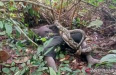 Seorang Pemuda Warga SAD Tewas Dililit Ular Piton, Kondisinya Mengenaskan - JPNN.com