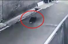 Lihat, Babi Ngepet Berkeliaran di Jalan, Hilang Saat Dikejar Warga - JPNN.com