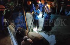 Tiba-Tiba Sapi Lepas di Malam Hari, Lari - JPNN.com
