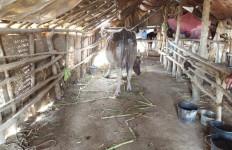 Misteri Hilangnya Belasan Kerbau saat Oro-oro Kesongo Menyemburkan Lumpur - JPNN.com