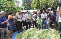Mawan Tanam Ratusan Pohon Ganja, Polres Tanah Karo Bantu Memanen - JPNN.com