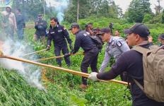 Ladang Ganja 300 Ribu Batang Ditemukan di Tengah Hutan, Langsung Dibakar - JPNN.com