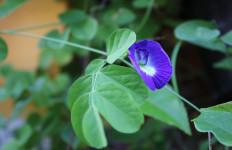Menyehatkan Mata, Ini Lho 5 Manfaat Bunga Telang untuk Kesehatan - JPNN.com