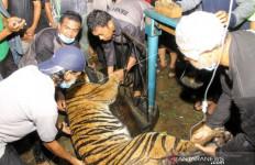 Lihat, Harimau Sumatra Jantan Itu Tertangkap - JPNN.com