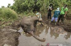 Sebelum Mati, Gajah Bernama Otto Tampak Lemas dan Kurang Nafsu Makan - JPNN.com