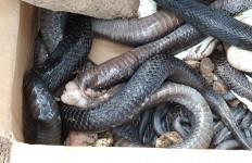 Ratusan Ular Kobra Teror Warga Bintaran Banyuasin, Satu Orang Dikabarkan Tewas - JPNN.com