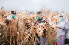 Kelompok Petani Berhasil Panen Jagung Hibrida Seluas 5 Hektare - JPNN.com