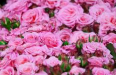 3 Manfaat Tidak Terduga dari Bunga Mawar - JPNN.com