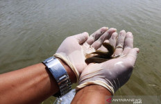 Antam Novambar Lepasliarkan Barang Bukti Ikan Endemik Kalbar - JPNN.com