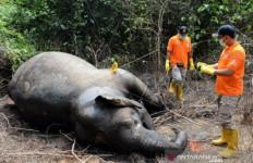 Gajah Ditemukan Mati, BKSDA Belum Tahu Penyebabnya - JPNN.com