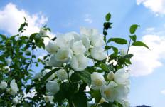 Luar Biasa, Ini Lho 5 Manfaat Sehat Bunga Melati - JPNN.com