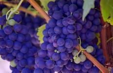 Cerahkan Wajah, Ini 3 Manfaat Anggur untuk Kulit dan Rambut - JPNN.com