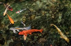 Kurangi Stres, Ini Lho 3 Manfaat Sehat Memiliki Kolam Ikan di Rumah - JPNN.com