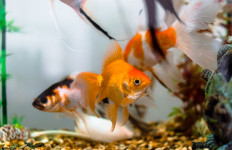 Ingin Kurangi Stres, Pelihara Saja Ikan Hias, Ini 3 Manfaatnya Lho - JPNN.com