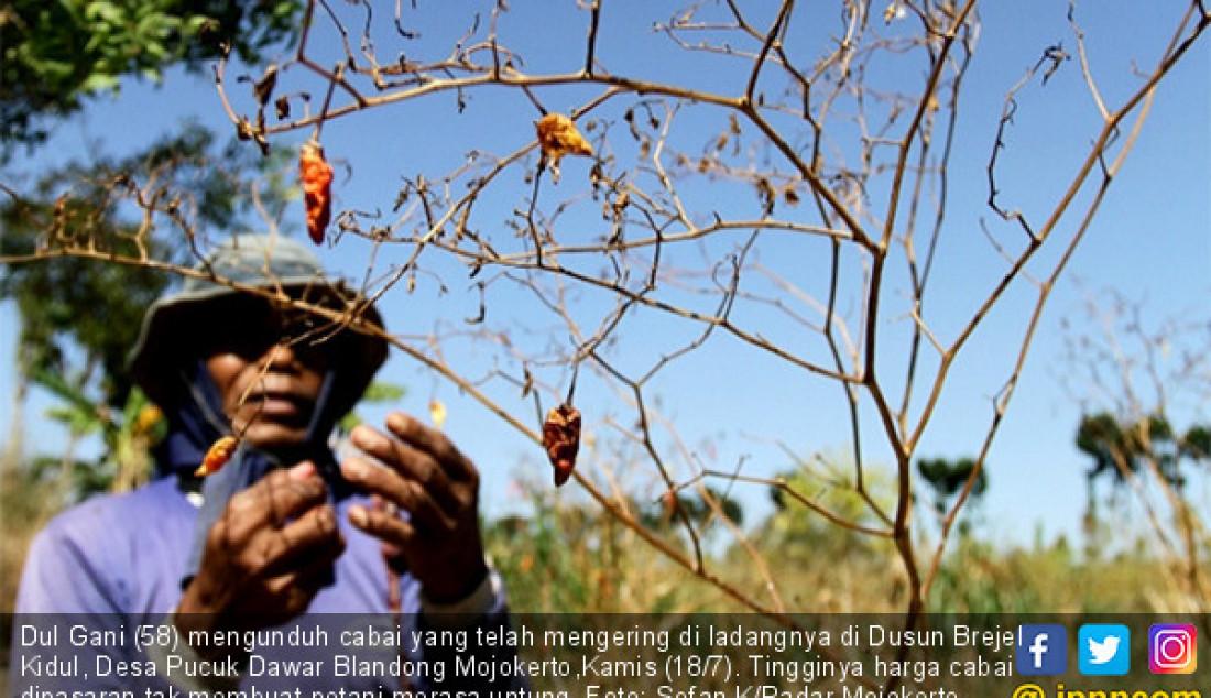 Dul Gani (58) mengunduh cabai yang telah mengering di ladangnya di Dusun Brejel Kidul, Desa Pucuk Dawar Blandong Mojokerto,Kamis (18/7). Tingginya harga cabai dipasaran tak membuat petani merasa untung. Foto: Sofan K/Radar Mojokerto - JPNN.com