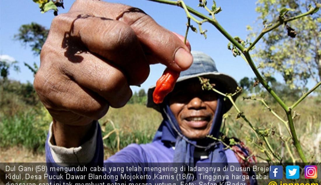 Dul Gani (58) mengunduh cabai yang telah mengering di ladangnya di Dusun Brejel Kidul, Desa Pucuk Dawar Blandong Mojokerto,Kamis (18/7). Tingginya harga cabai dipasaran saat ini tak membuat petani merasa untung. Foto: Sofan K/Radar Mojokerto - JPNN.com
