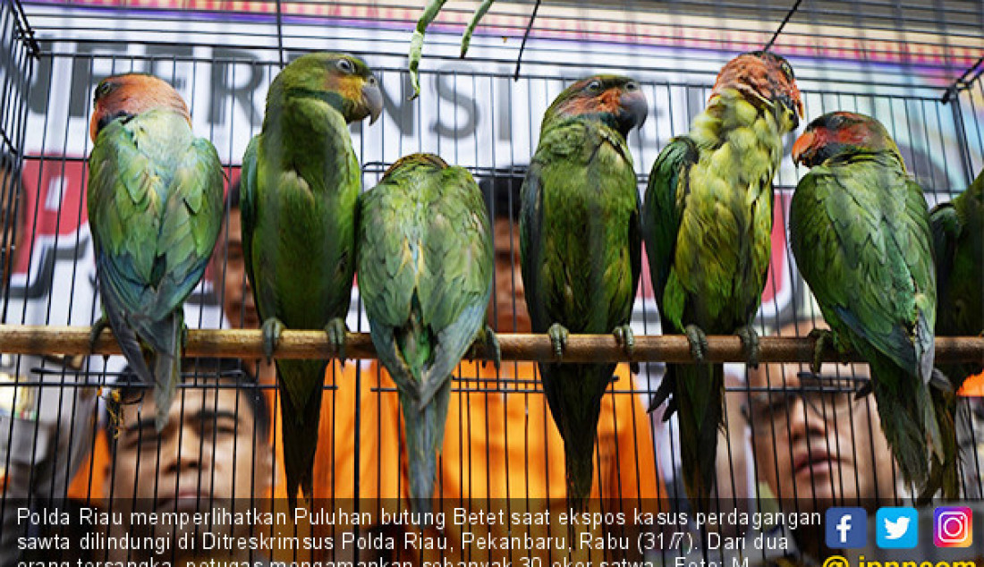 Polda Riau memperlihatkan Puluhan butung Betet saat ekspos kasus perdagangan sawta dilindungi di Ditreskrimsus Polda Riau, Pekanbaru, Rabu (31/7). Dari dua orang tersangka, petugas mengamankan sebanyak 30 ekor satwa. Foto: M Akhwan/Riau Pos - JPNN.com