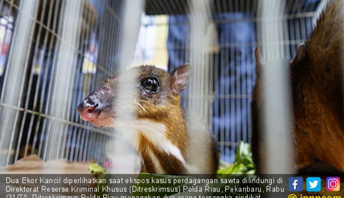 Dua Ekor Kancil diperlihatkan saat ekspos kasus perdagangan sawta dilindungi di Direktorat Reserse Kriminal Khusus (Ditreskrimsus) Polda Riau, Pekanbaru, Rabu (31/7/). Ditreskrimsus Polda Riau menangkap dua orang tersangka sindikat perdagangan satwa dilindungi, dan menyita 30 ekor binatang. Foto: M Akhwan/Riau Pos - JPNN.com