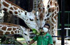 Ragunan Zoo Beroperasi di Masa PSBB Transisi, Jumlah Pengunjungnya Cuma Sebegini - JPNN.com