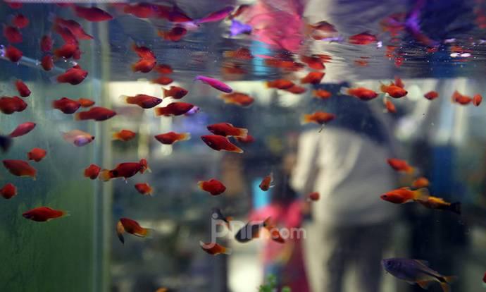 Omset Pedagang Ikan Hias Naik Selama Pandemi