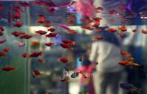 Omset Pedagang Ikan Hias Naik Selama Pandemi - JPNN.com