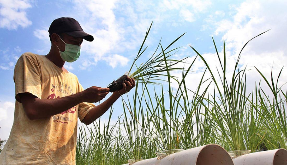 Warga yang tergabung dalam Kelompok Tani Angsana di Kawasan Pengasinan, Depok, Jawa Barat, menanam padi IR 64 dengan konsep hidroganik atau perpaduan hidro dan organik tanpa menggunakan media tanah, Selasa (23/2). Kegiatan pertanian yang memanfaatkan lahan fasilitas sosial itu merupakan upaya awal dalam memperkuat ketahanan pangan pada masa pandemi. Foto: Ricardo - JPNN.com