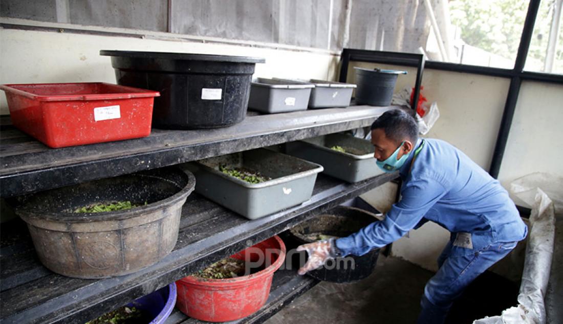 Petugas Satuan Pelaksana (Satpel) Lingkungan Hidup Kecamatan Tebet, Jakarta Selatan, membudidayakan maggot atau belatung pengurai sampah. Maggot selain bermanfaat untuk mengurai sampah organik juga bisa untuk makanan ternak. Foto: Ricardo - JPNN.com